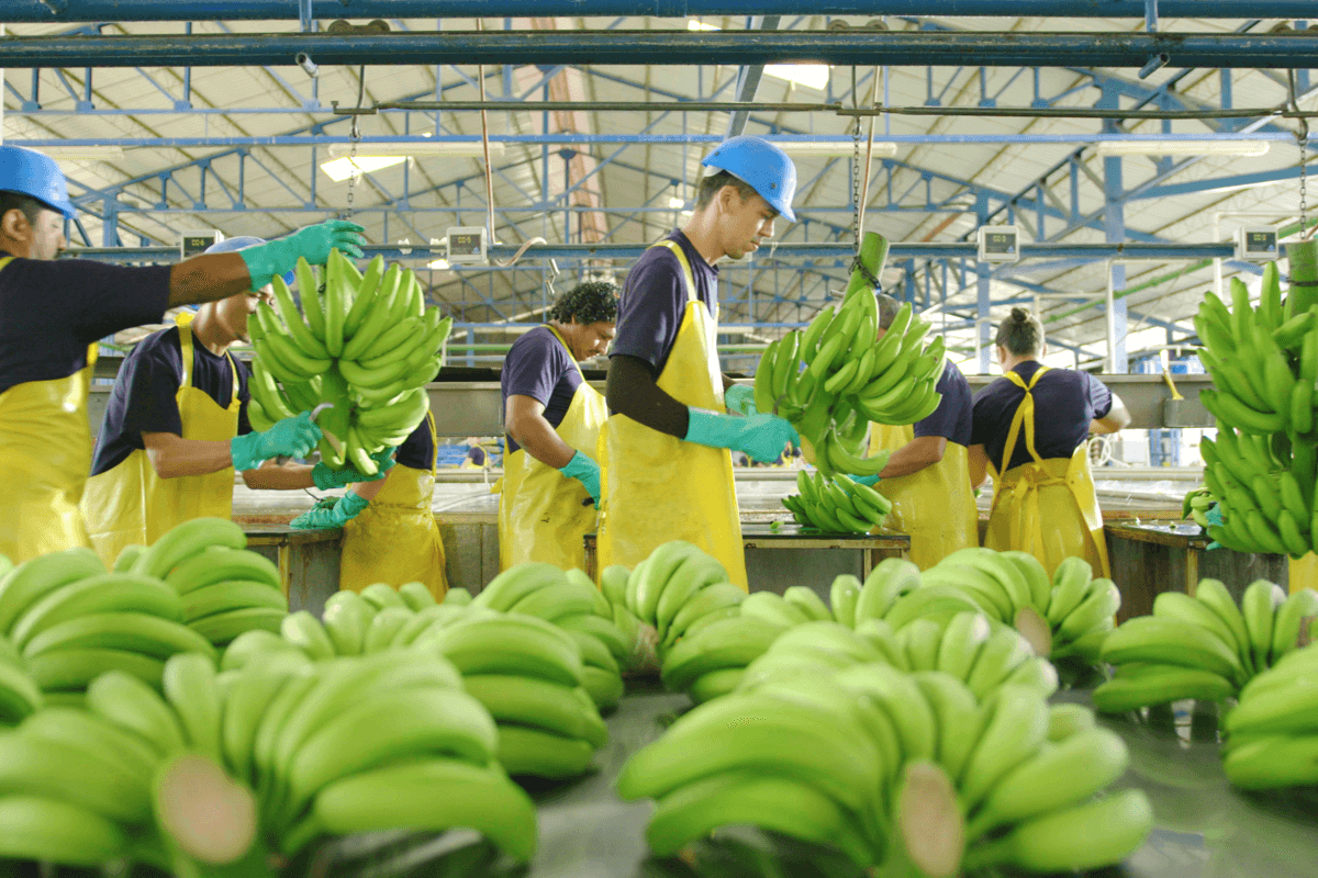 Quality standards Chiquita bananas