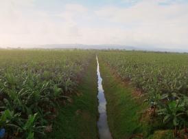 Chiquita Plantation